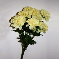 Pale Yellow Carnations